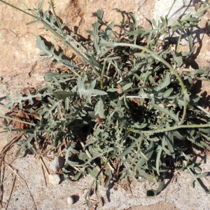 Photographie n°670836 du taxon Centaurea paniculata L. [1753]