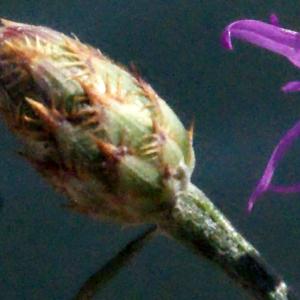 Photographie n°670838 du taxon Centaurea paniculata L. [1753]