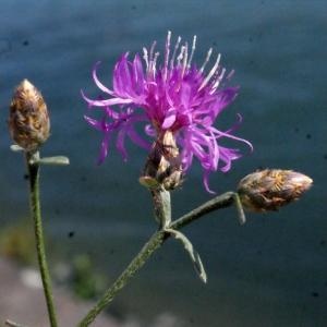 Photographie n°670839 du taxon Centaurea paniculata L. [1753]