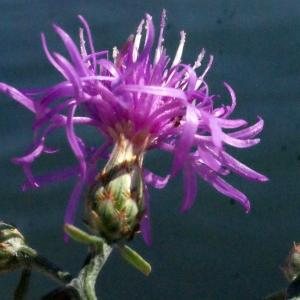 Photographie n°670840 du taxon Centaurea paniculata L. [1753]