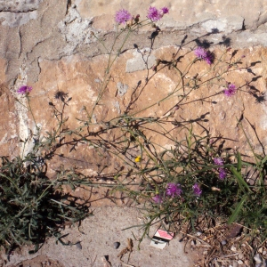 Photographie n°670842 du taxon Centaurea paniculata L. [1753]