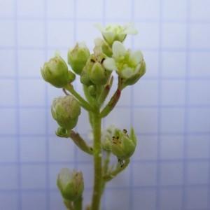Photographie n°670873 du taxon Saxifraga paniculata Mill.