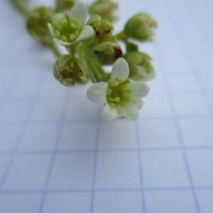 Photographie n°670874 du taxon Saxifraga paniculata Mill.
