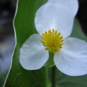 Photographie n°670881 du taxon Sagittaria latifolia Willd. [1805]