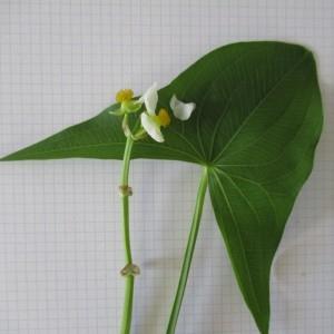 Photographie n°670882 du taxon Sagittaria latifolia Willd. [1805]