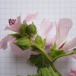 Photographie n°670922 du taxon Althaea officinalis L. [1753]