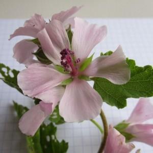 Photographie n°670923 du taxon Althaea officinalis L. [1753]