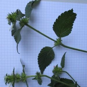Photographie n°670925 du taxon Galeopsis tetrahit L.