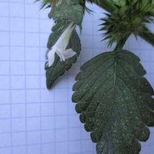 Photographie n°670926 du taxon Galeopsis tetrahit L.