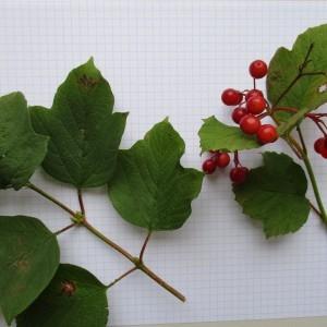 Photographie n°670940 du taxon Viburnum opulus L. [1753]