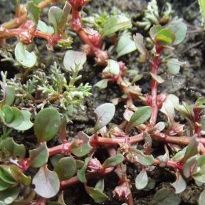 Photographie n°670942 du taxon Lythrum portula (L.) D.A.Webb