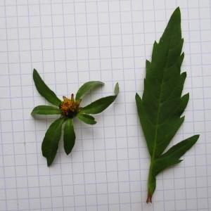 Photographie n°670960 du taxon Bidens connata Muhlenb. ex Willd. [1803]