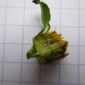 Bidens connata Muhlenb. ex Willd. (Bident à feuilles connées)