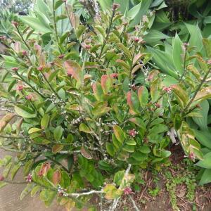 Photographie n°671551 du taxon Euphorbia tithymaloides L.