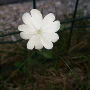 - Silene latifolia Poir.