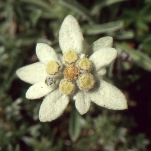 - Leontopodium alpinum Cass. [1822]