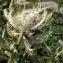 Liliane Roubaudi - Cirsium spinosissimum (L.) Scop. [1769]