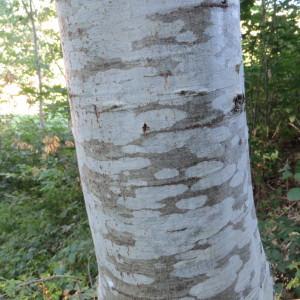 - Quercus rubra L.