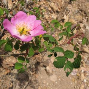 Photographie n°672287 du taxon Rosa gallica