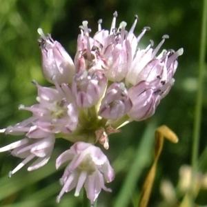Photographie n°672439 du taxon Allium strictum