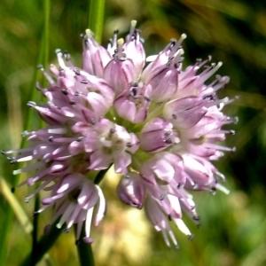 - Allium strictum