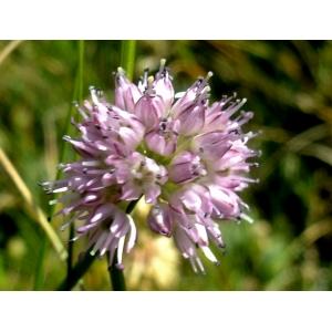 Allium strictum Schrad. (Ail dressé)