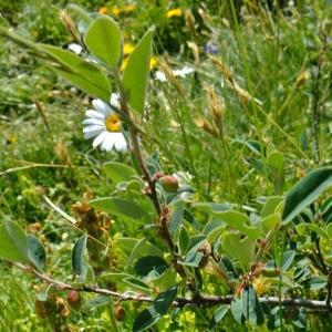 Photographie n°672501 du taxon Cotoneaster juranus