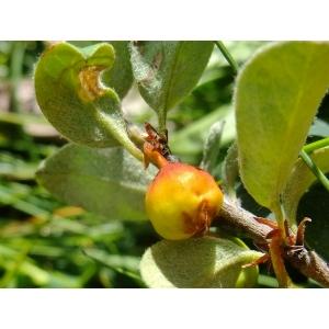 Cotoneaster juranus Gand. (Cotonéaster du Jura)