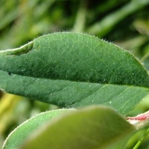 Photographie n°672505 du taxon Cotoneaster juranus