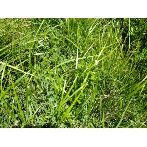 Hierochloe odorata (L.) P.Beauv. (Avoine odorante)
