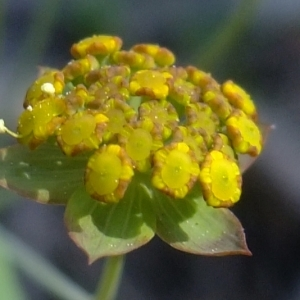 Photographie n°673184 du taxon Bupleurum ranunculoides