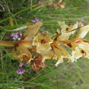 Photographie n°673303 du taxon Orobanche alba