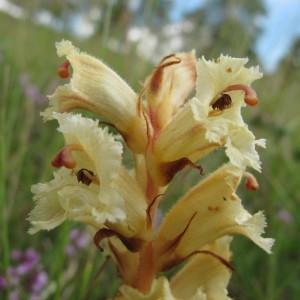 Photographie n°673305 du taxon Orobanche alba