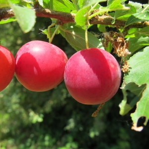 Photographie n°673350 du taxon Prunus cerasifera