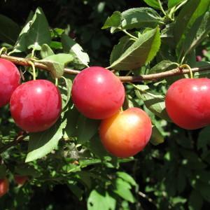 Photographie n°673355 du taxon Prunus cerasifera