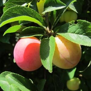 Photographie n°673356 du taxon Prunus cerasifera