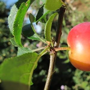 Photographie n°673357 du taxon Prunus cerasifera