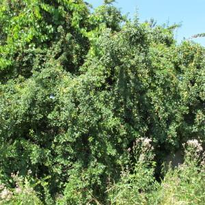 Photographie n°673358 du taxon Prunus cerasifera
