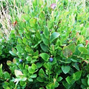 Photographie n°673479 du taxon Vaccinium myrtillus L.