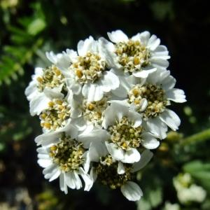 Photographie n°673487 du taxon Achillea nana L. [1753]
