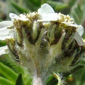 Photographie n°673488 du taxon Achillea nana L. [1753]