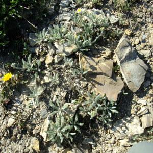 Photographie n°673489 du taxon Achillea nana L. [1753]
