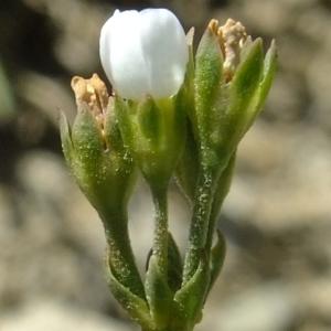 Photographie n°673532 du taxon Androsace adfinis subsp. brigantiaca (Jord. & Fourr.) Kress [1981]
