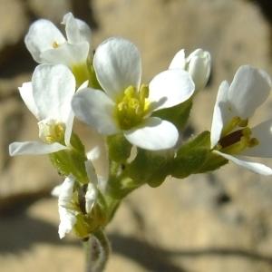 Photographie n°673572 du taxon Arabis alpina hort.