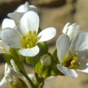 Photographie n°673573 du taxon Arabis alpina hort.