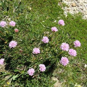 Photographie n°673590 du taxon Armeria alpina Willd. [1809]