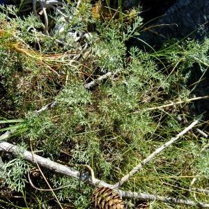 Photographie n°673593 du taxon Artemisia alba