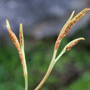 Asplenium septentrionale (L.) Hoffm. (Doradille du Nord)