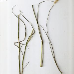 Photographie n°673796 du taxon Setaria parviflora (Poir.) Kerguélen [1987]