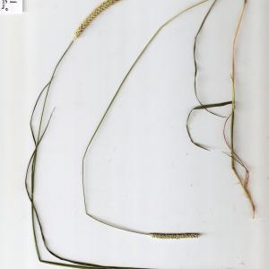 Photographie n°673797 du taxon Setaria parviflora (Poir.) Kerguélen [1987]